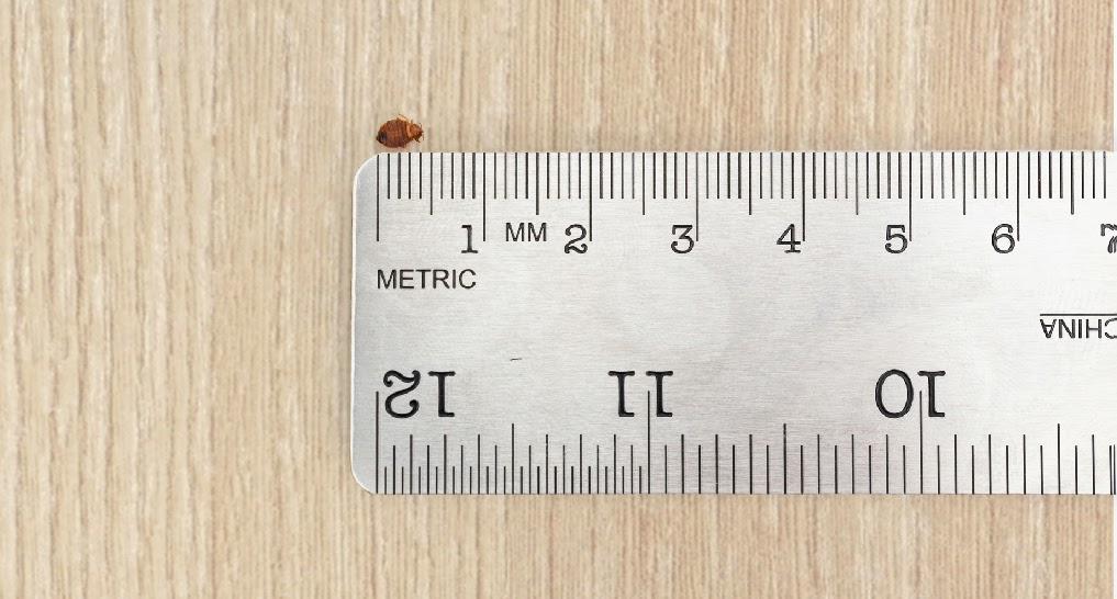 bed bugs next to apple seed and ruler marked to 7mm / .25 inch