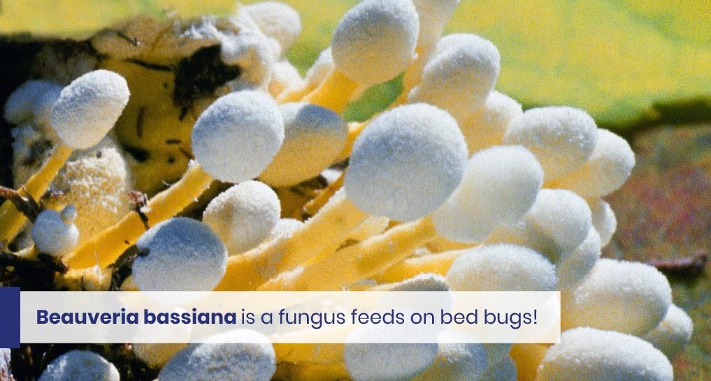 "beauveria bassiana - text: ""Beauveria bassiana is a fungus feeds on bed bugs!"""