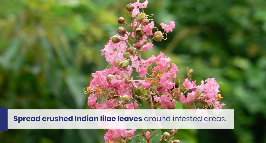 """Indian lilac - text: """"Spread crushed Indian lilac leaves around infested areas."""""""