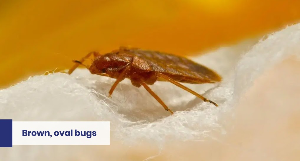 """bed bugs text: """"Brown, oval bugs"""""""
