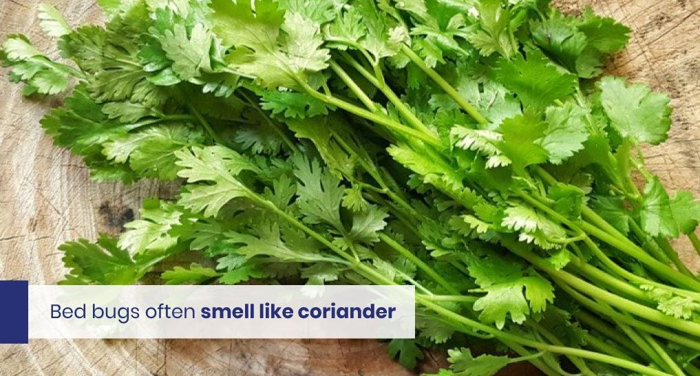 "coriander text: ""Bed bugs often smell like coriander"""