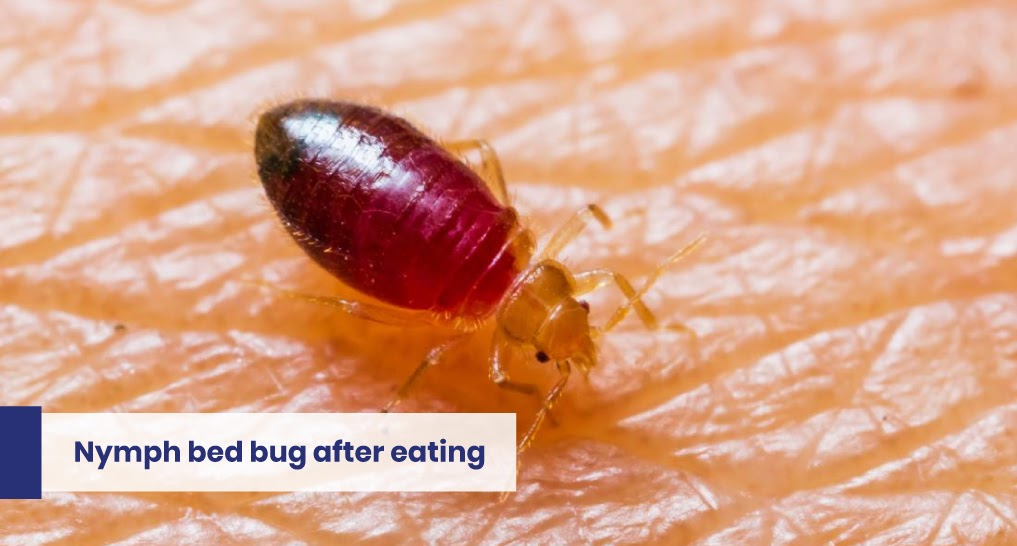 """young bed bugs - text: """"Nymph bed bug after eating"""""""