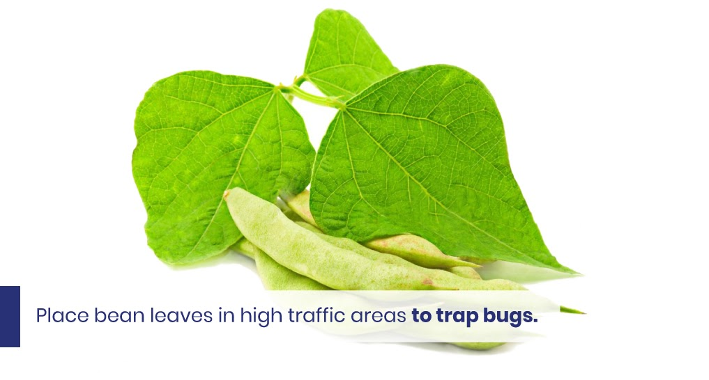 """kidney bean leaves - text: """"Place bean leaves in high traffic areas to trap bugs."""